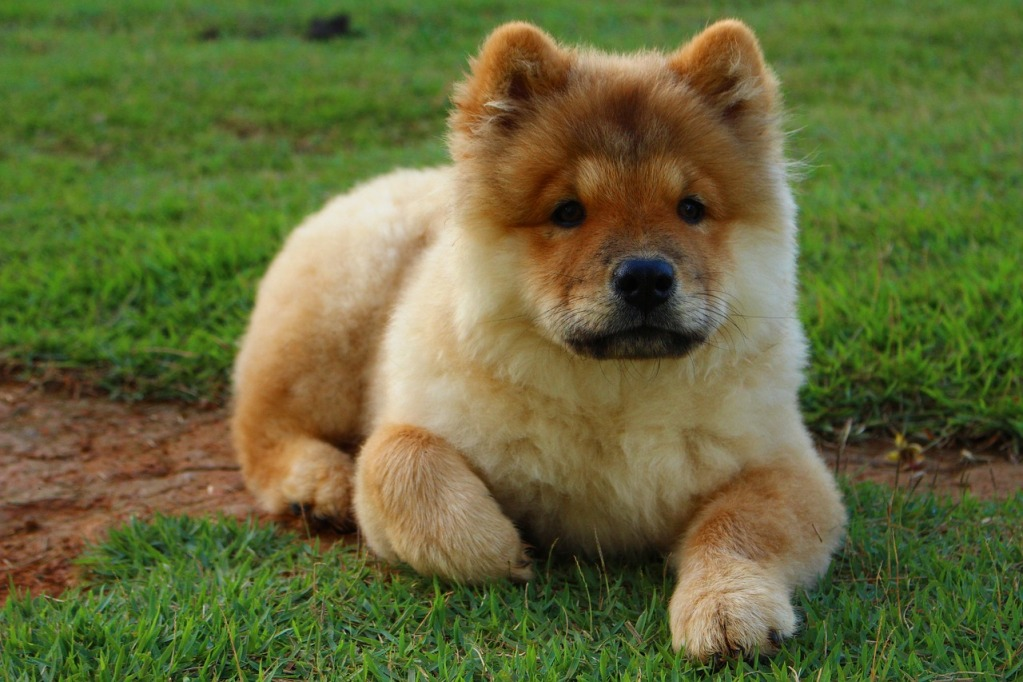 Chow Chows Dog Breeds