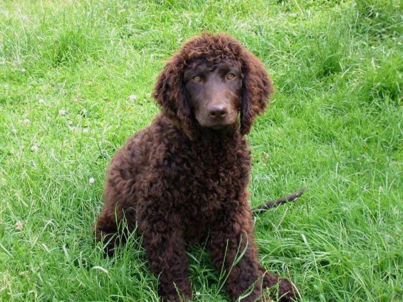 English Water Spaniel Pictures