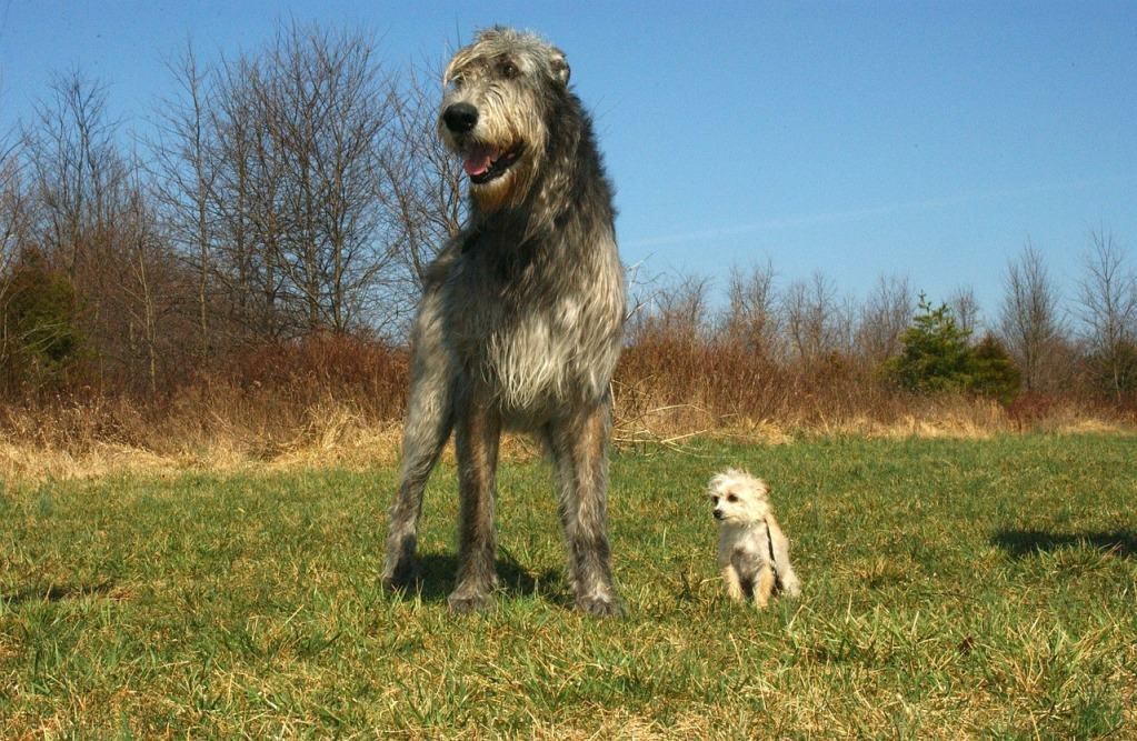 Irish Wolfhound Size