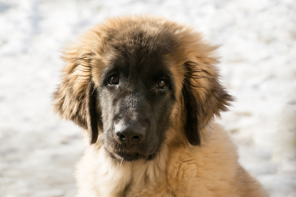 Leonberger Dog Images