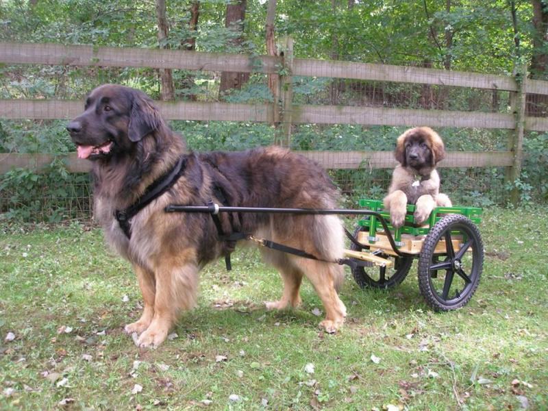 Leonberger Temperament