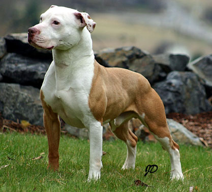 Pitbull Dog Facts