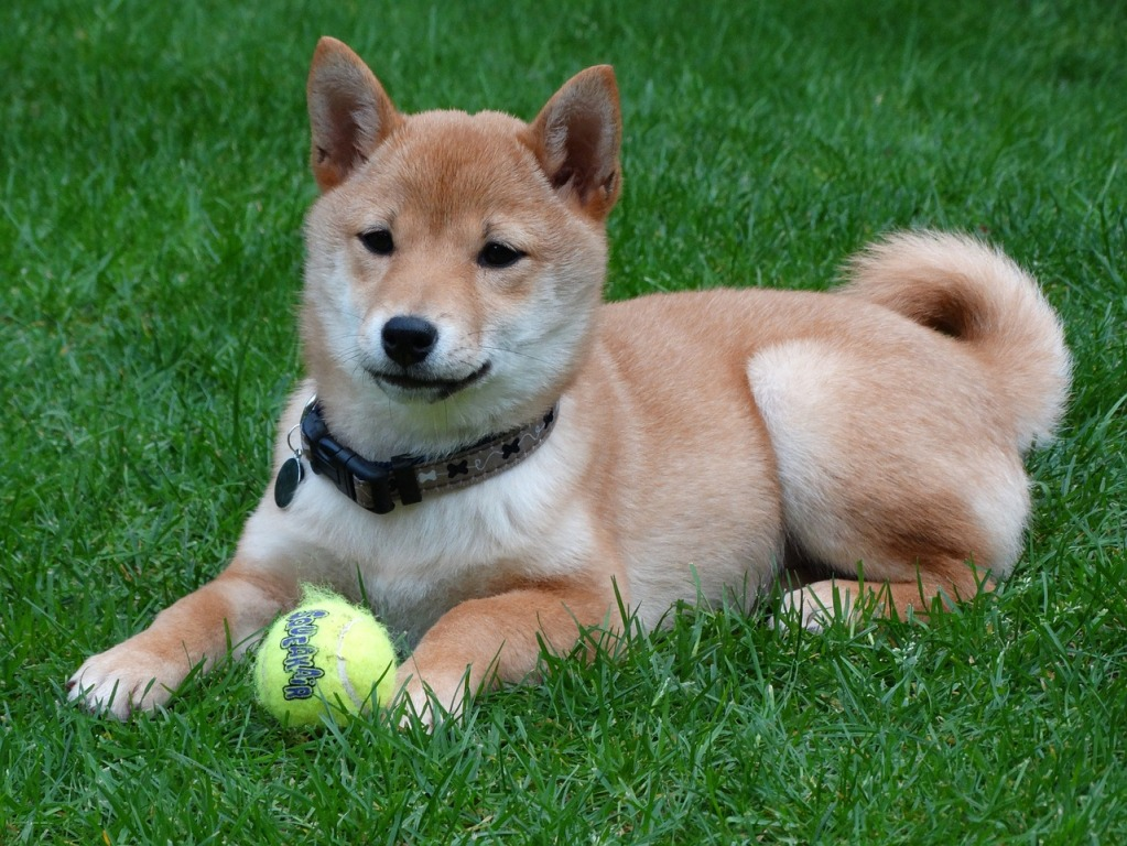 Top 4 Most Popular Asian Dog Breeds In The World With Picture And
