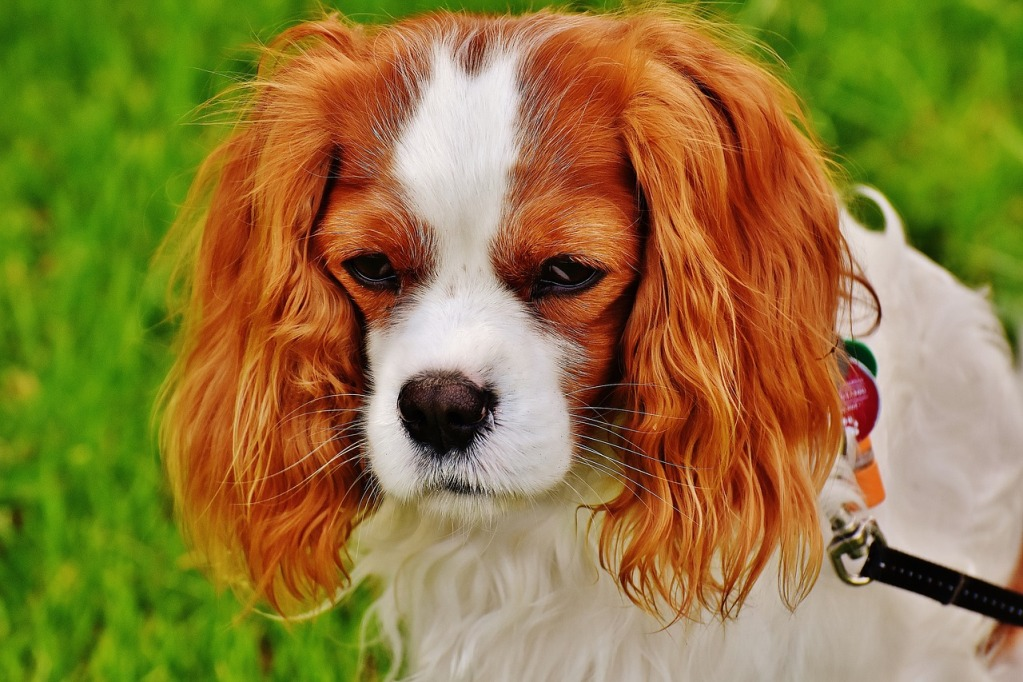 Spaniel Breed Dogs