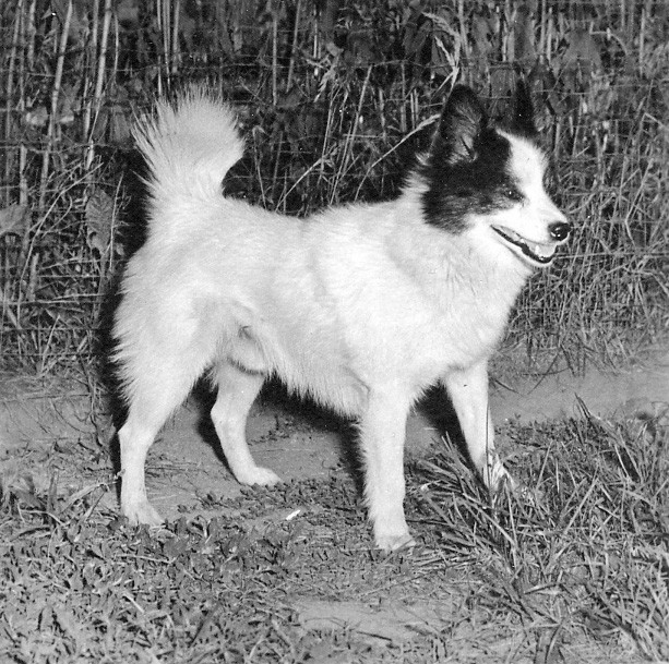 Tahltan Bear Dog Pictures