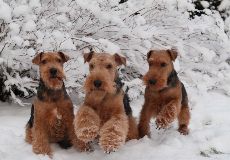 Welsh Terrier Breeders