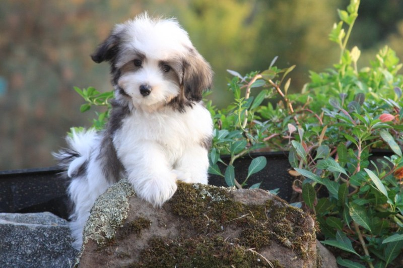 Havanese Poodle Pictures