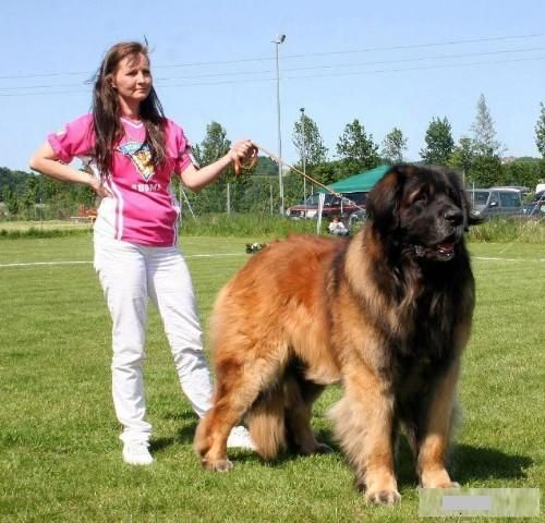 3 Extra Large Dog Breeds With Pictures