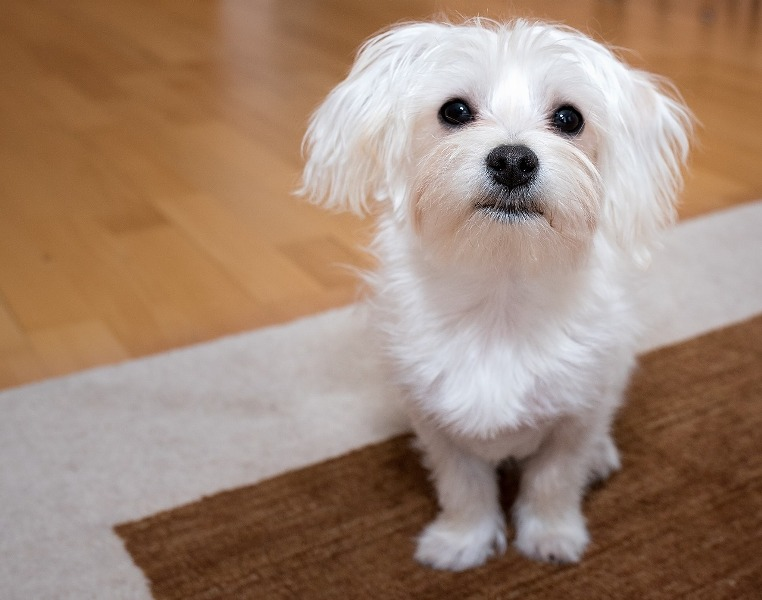 3 Best Tiny Dog Breeds Good For Apartment Living And