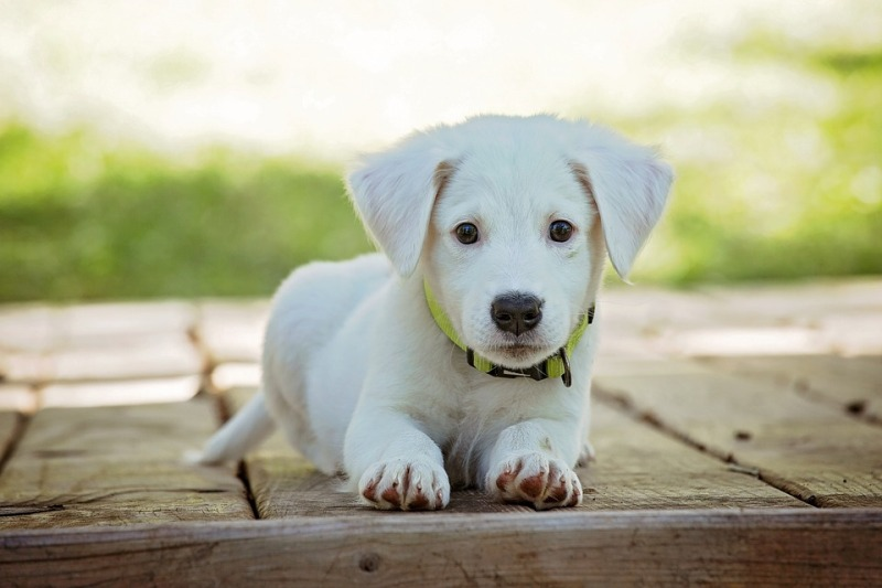 3 Favorite Small White Dog Breeds With Pictures Characteristics Facts
