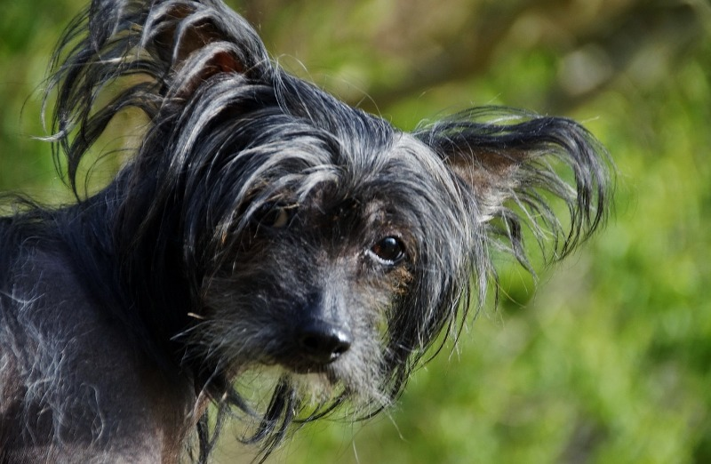 Ugly Chinese Crested