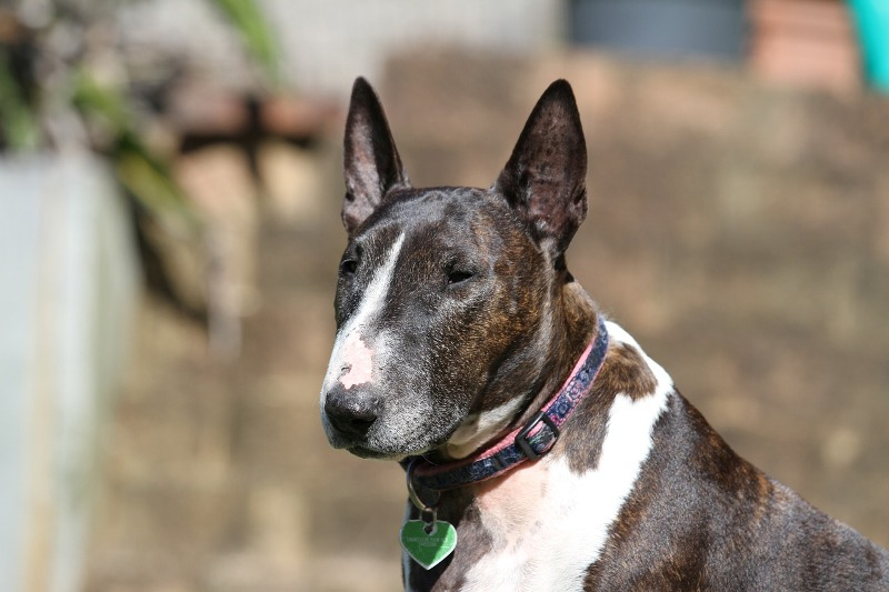 Ugly English Bull Terrier