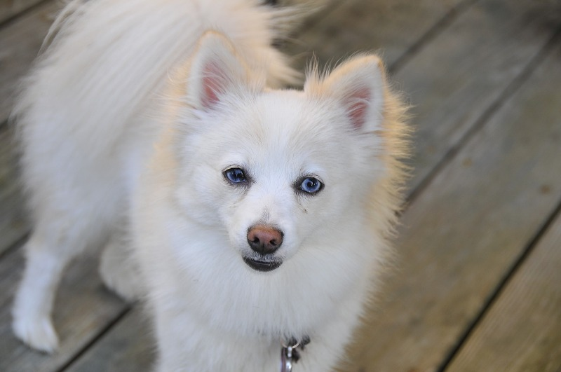 White Pomeranian Puppies For Adoption