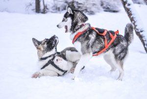Brindle Dog Breeds Akita
