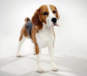 Do Beagles Shed