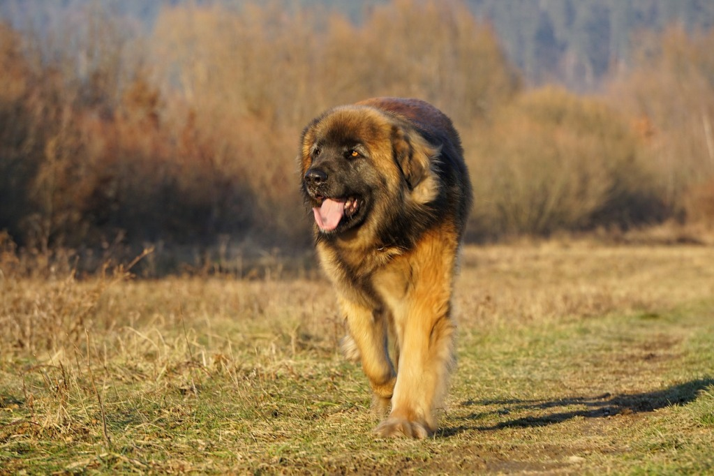 Top 3 Tallest Dog Breed As The Giant Yet Gentle Creatures