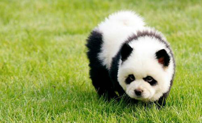 Panda Dog Breed