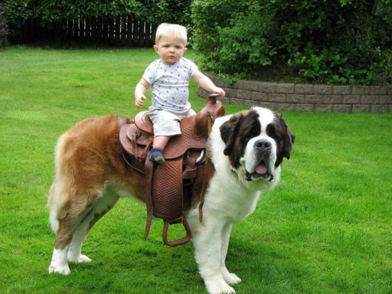 St Bernard VS Great Dane