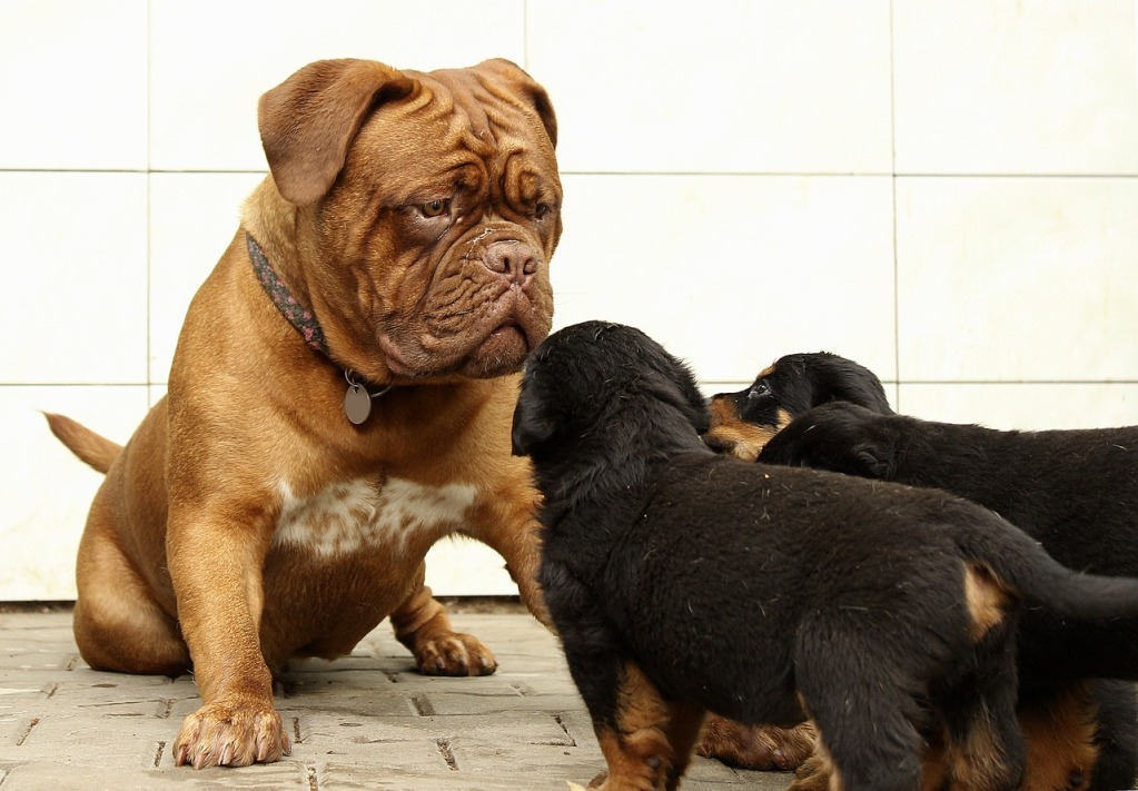 Strongest Dog Breed