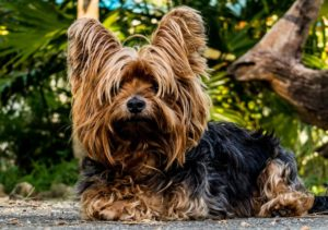 Terrier Breeds Small