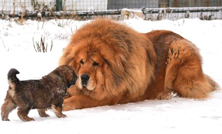 Biggest Dog Breed Tibetan Mastiff