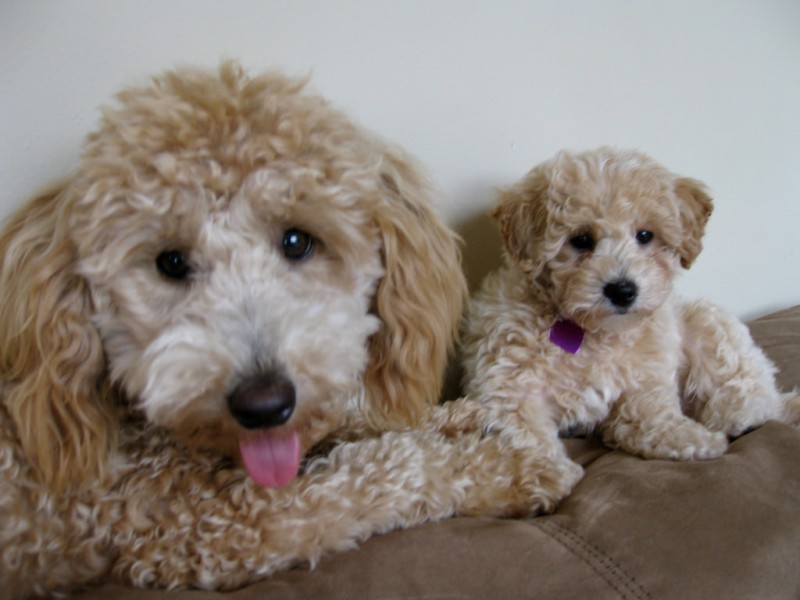 3 Best Teddy Bear Dog Breed For Your Family Very Cute