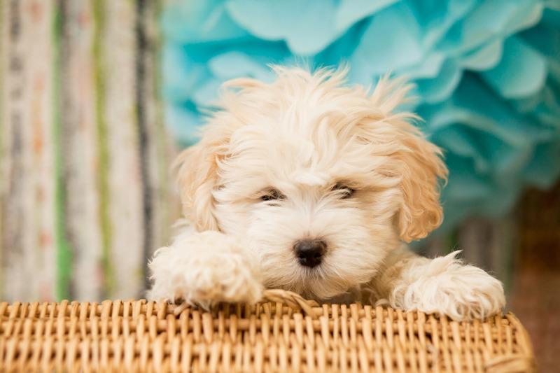 Teddy Bear Dog Breed Zuchon