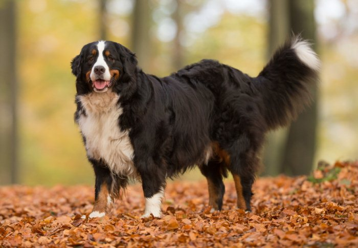best big dog breeds