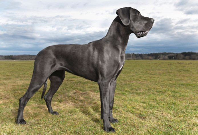 big dog breed