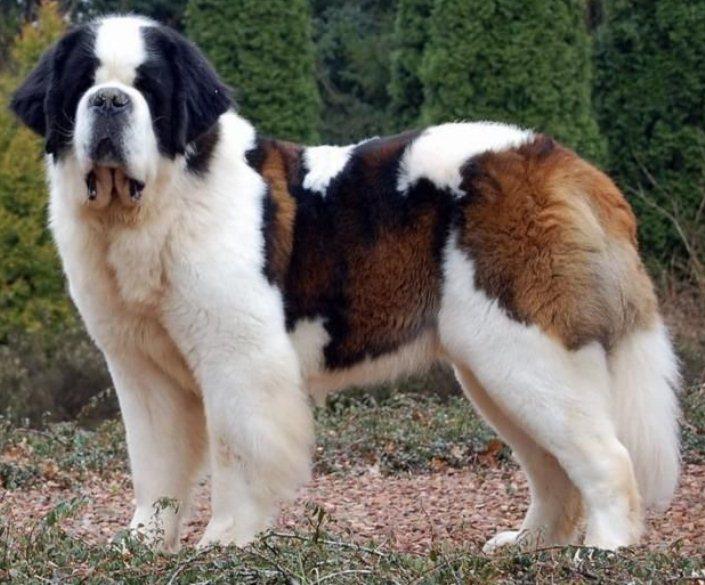 Popular huge dog breeds